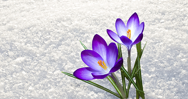 first blue crocus flowers, spring saffron